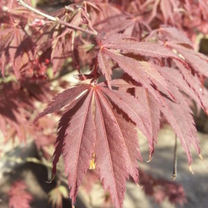 Acer palmatum 'Burgundy Lace' – Laceleaf Japanese Maple