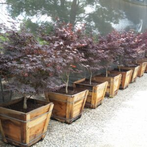 Acer palmatum 'Bloodgood' – Japanese Maple