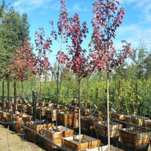 Acer rubrum 'October Glory' – Red Maple