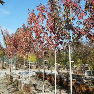 Acer rubrum 'Red Sunset' – Red Maple