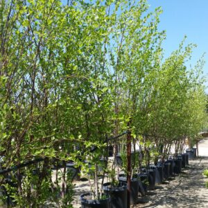 Betula nigra 'Black Select' – River Birch