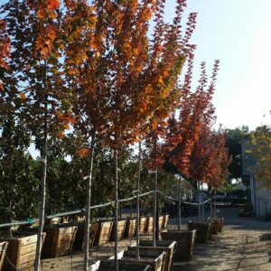 Acer rubrum 'Brandywine' – Red Maple