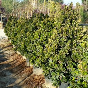 Elaeocarpus decipiens 'Little Emperor' – Dwarf Japanese Blueberry Tree