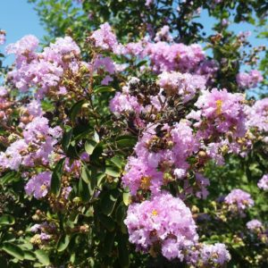Lagerstroemia indica x fauriei 'Muskogee' – Crape Myrtle