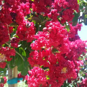 Lagerstroemia indica 'Dynamite' – Crape Myrtle