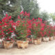 Lagerstroemia indica 'Red Rocket' – Crape Myrtle