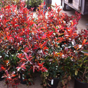Photinia x fraseri – Photinia Tree