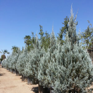 Juniperus scopulorum 'Wichita Blue' – Juniper