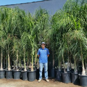 Cocos plumosa – Queen Palm