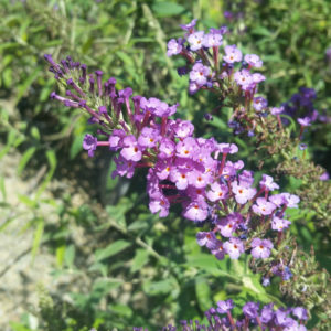 Buddleia 'Buzz Purple' – Butterfly Bush