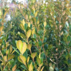 Buxus microphylla var. japonica 'Winter Gem' – Boxwood