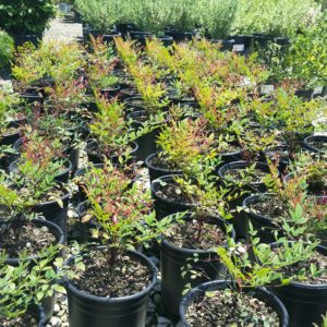 Nandina domestica 'Gulf Stream' – Heavenly Bamboo