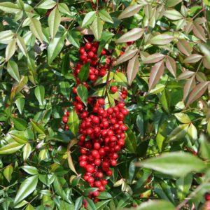 Nandina domestica 'Heavenly Bamboo'