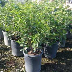 Osmanthus fragrans – Sweet Olive