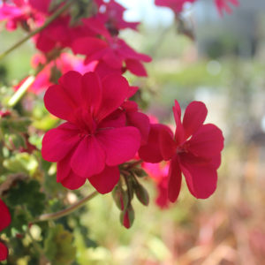 Pelargonium 'Red' Geranium