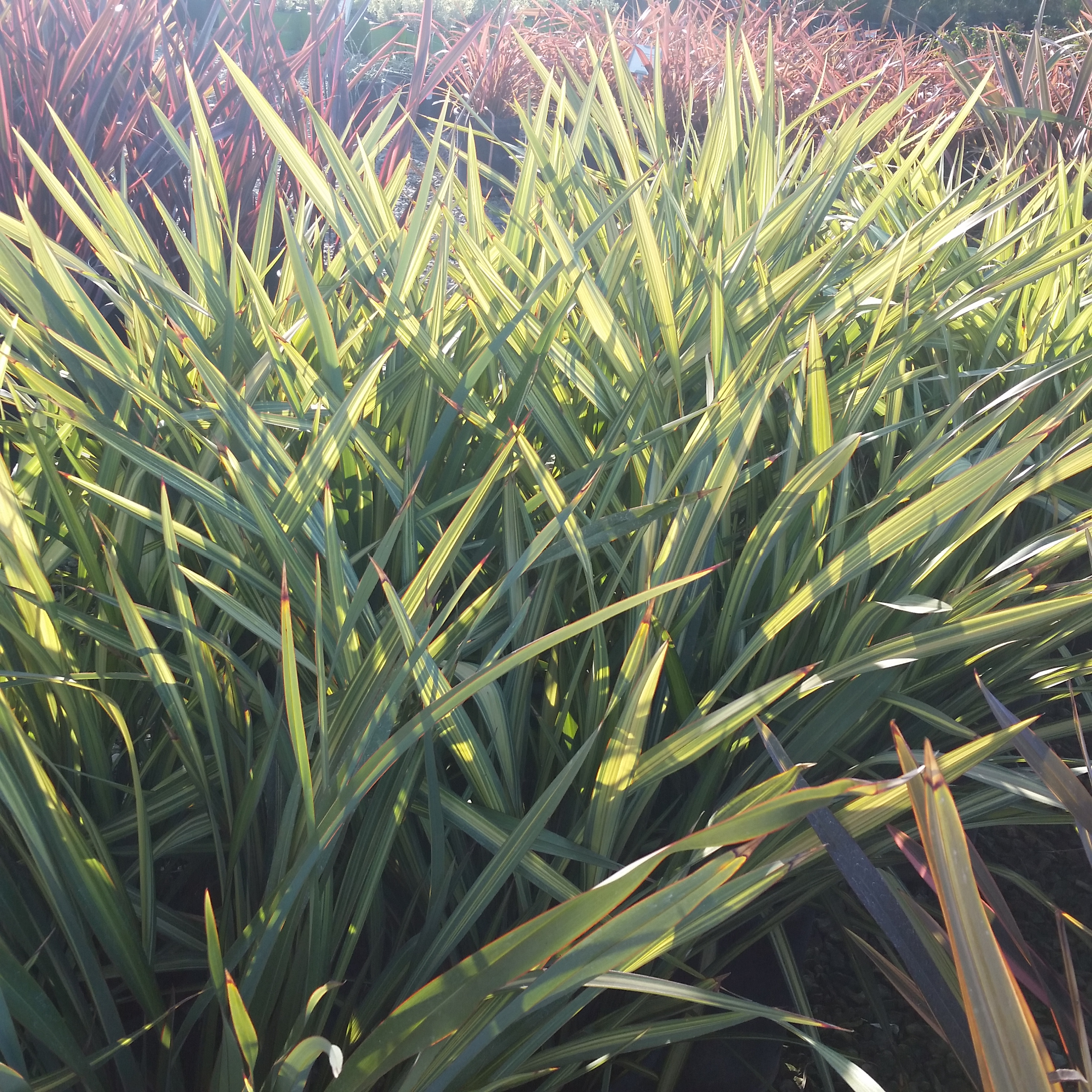 Phormium Apricot Queen New Zealand Flax Mid Valley Trees