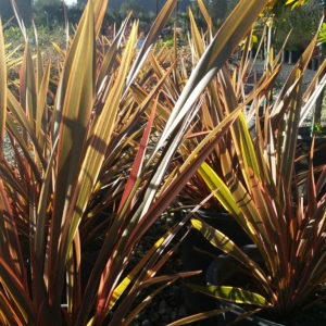 Phormium 'Maori Queen' – New Zealand Flax
