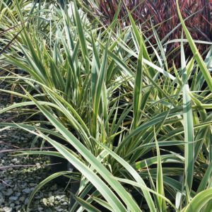 Phormium cookianum 'Tricolor' – New Zealand Flax