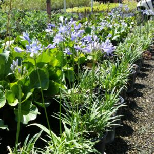 Agapanthus 'Peter Pan' – Dwarf Lily of the Nile
