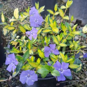 Vinca minor 'Variegata' – Variegated Periwinkle