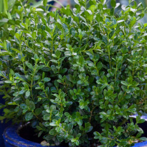 Buxus microphylla japonica 'Baby Gem™' – Boxwood
