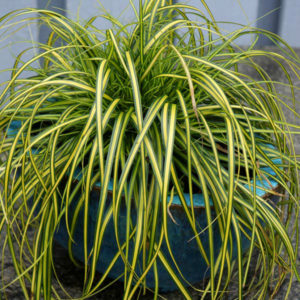 Carex oshimensis EverColor® 'Eversheen' – Carex