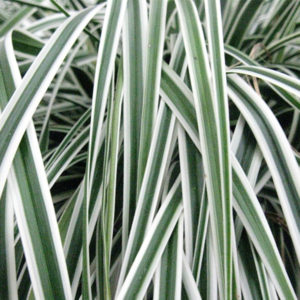 Carex oshimensis EverColor® 'Everest' – Carex