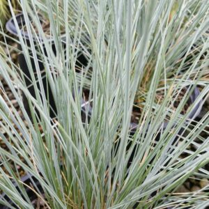 Helictotrichon sempervirens 'Sapphire' – Blue Oat Grass