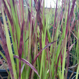 Imperata cylindrica 'Red Baron' – Japanese Blood Grass