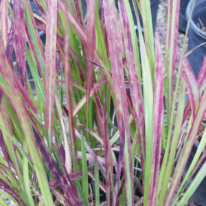 Ornamental Grasses Archives Mid Valley Trees