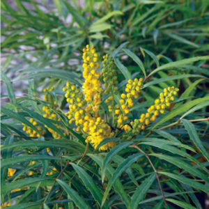 Mahonia 'Soft Caress' – Oregon Grape Holly