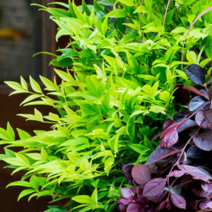 Nandina 'Lemon Lime' – Heavenly Bamboo