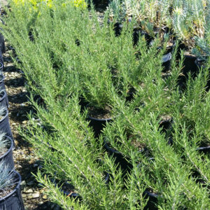 Rosmarinus officinalis 'Tuscan Blue' – Rosemary