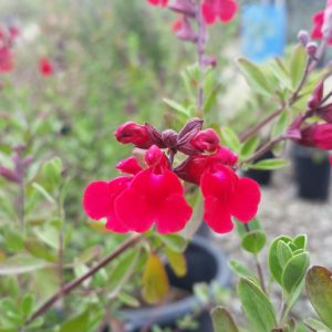 Salvia greggii 'Furman's Red' – Autumn Sage