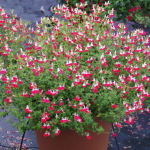 Salvia microphylla 'Little Kiss' – Small Leaf Sage
