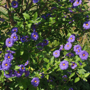 Solanum rantonnetii – Blue Potato Bush