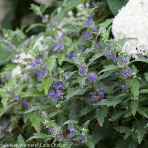 Caryopteris 'Beyond Midnight®' – Bluebeard