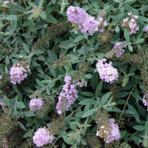 Buddleia Lo & Behold® 'Lilac Chip' – Butterfly Bush