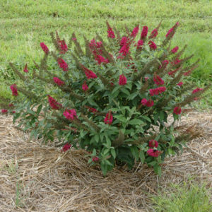 Buddleia x 'Miss Molly' – Butterfly Bush