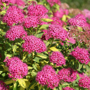 Spiraea japonica Double Play® 'Painted Lady®' – Variegated Spirea