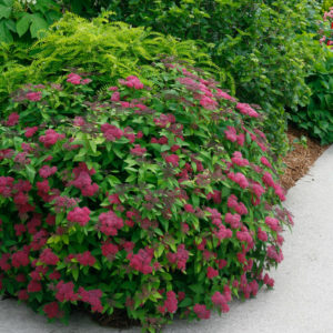 Spiraea japonica Double Play® 'Red' – Spirea