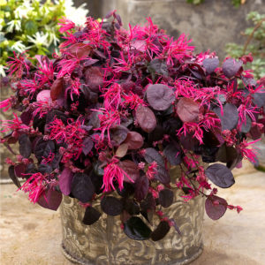 Loropetalum chinense Jazz Hands® 'Bold' – Chinese Fringe Flower