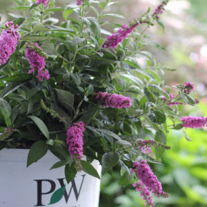 Buddleia Lo & Behold® 'Pink Micro Chip' – Butterfly Bush