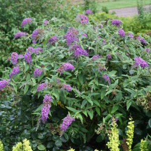 Buddleia Lo & Behold® 'Purple Haze'