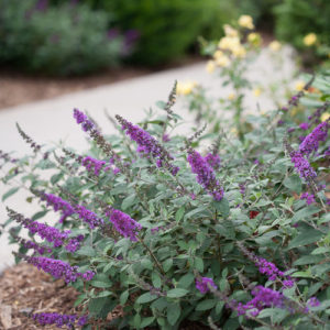Buddleia Lo & Behold® 'Blue Chip Jr' – Butterfly Bush