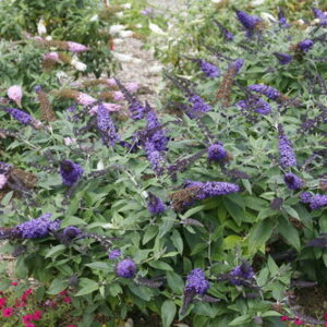 Buddleia x 'Pugster Blue®' – Butterfly Bush