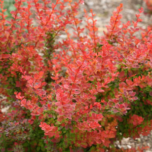 Sunjoy® Tangelo Barberry