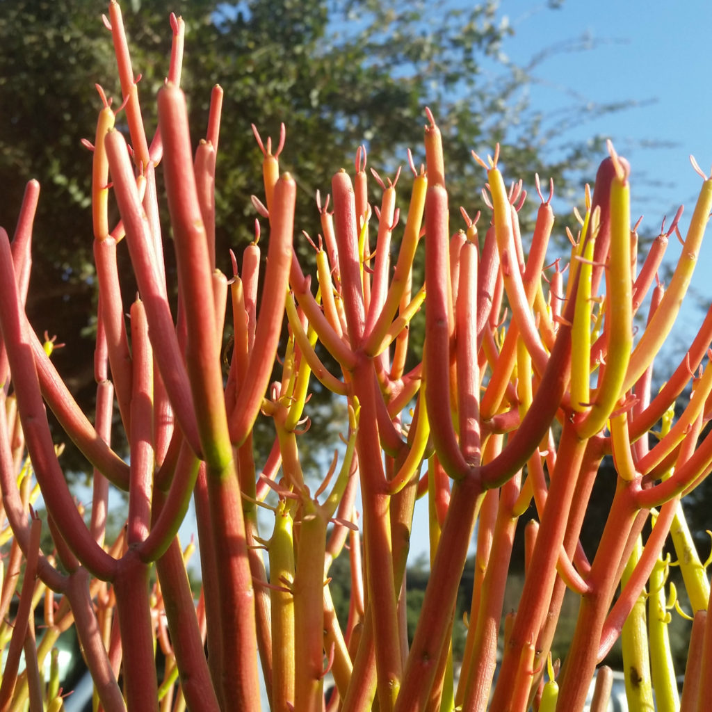 Euphorbia Tirucalli Cv Firesticks Red Pencil Tree