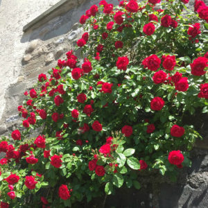 Rosa 'Don Juan' – Climbing Hybrid Tea Rose