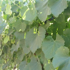 Vitis californica x vinifera 'Roger's Red' – California Grape